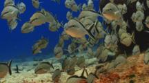 School Of Cottonwick Grunt Fish Resting On A Coral Reef