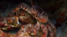 King Crab Hidden In A Coral Reef