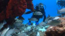 Scuba Diver Disturbing A Shoal Of Fish And Pointing