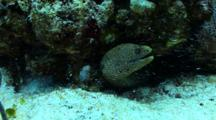 Goldentail Eel Sticking Head Out Of A Coral Reef