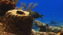 Blue Tang Fish Eating From A Coral Sponge