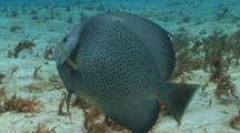 Gray Angelfish Swimming Over Sandy Reef