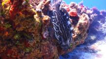 Black Grouper On A Coral Reef