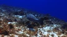 Black Grouper Swims Over A Coral Wall