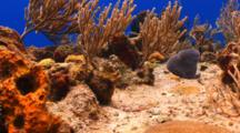 Coral Reef With Bluehead Wrasse
