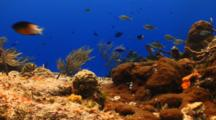 Coral Reef With Chromis