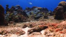 School Of Cottonwick And French Grunt Swim Out From Behind Coral
