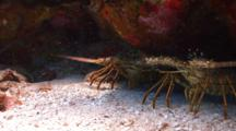 Spiny Lobsters Under A Coral Ledge