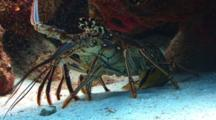Spiny Lobster Under A Coral Ledge