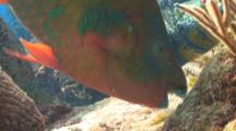Rainbow Parrotfish Eating From A Coral Reef