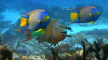 Rainbow Parrotfish Eating From A Coral Reef With Other Fish