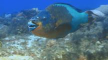 Rainbow Parrotfish Swimming Over A Coral Reef