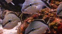School Of Fish Grunt On A Tropical Coral Reef
