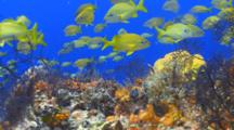 School Of Fish French Grunt Over Coral Reef