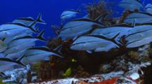 School Of Fish Cottonwick Grunt Over Coral Reef
