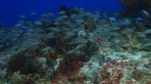 School Of  Grunt Fish Over Coral Reef