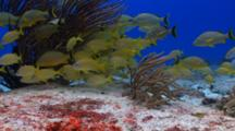 School Of French Grunt By Soft Coral