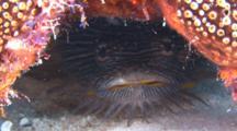 Splendid Toadfish Under Coral