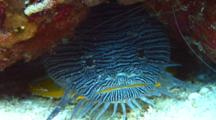 Splendid Toadfish Under Coral