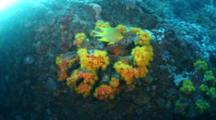 Yellow Demsal Fish Over Turbastreae Tube Coral On Coral Reef In Philippines
