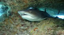 White-Tip Reef Shark With Remora Sharksucker Under Table Hard Coral Very Close