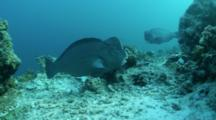 A Bumphead Parrotfish Bulbometopon Muricatum Passing On Coral Reef