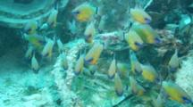 A School Of Ringtailed Cardinalfish Swimming Toward Camera