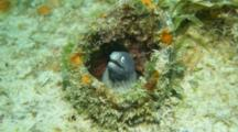 A Whiteeye Moray Eel With Cleaner Shrimp In An Old Pipe