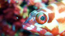 A Blacktip Grouper Fish With Roving Eyes