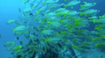 A Yellow Snapper Fish School Circle Around Wreck