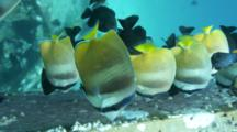 Blacklip Butterflyfish Feeding On Sergeant Major Fish Eggs