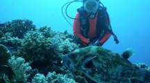 Whitespotted Pufferfish Feeding Watched By A Diver Behavior