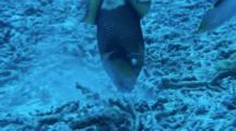 Titan Triggerfish Feeding Behavior Cleaner Wrasse