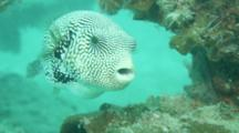 Map Pufferfish Arothron Mappa Turning Around While Feeding On Coral Reef
