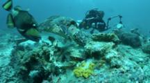 Titan Triggerfish And Hawksbill Turtle Competing In Feeding On Coral With Divers Looking On And Photographing With Camera Flashing