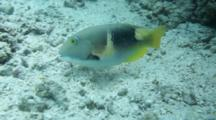 An Anchor Tuskfish Choerodon Anchorago Fanning And Blowing Sand Feeding Behavior