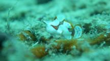 A Juvenile Warty Frogfish Side View
