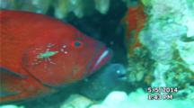 Cleaner Shrimp With Red Grouper And White-Eye Moray Eel Symbiosis Behavior