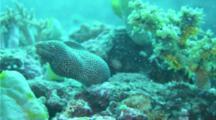 Speckled Moray Eel Gulping