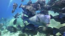 Bumphead Wrasse Parrotfish School Swimming And Discharging With Dvier Behavior
