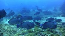 Bumphead Wrasse Parrotfish School Swimming And Feeding On Coral Reef Behavior