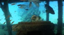 Giant Grouper Fish With Yawning Behavior On Ship Wreck