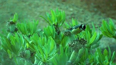 African Blue Tit, Fuertaventura sub species
