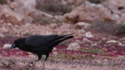 Northern Raven, Canary island sub species
