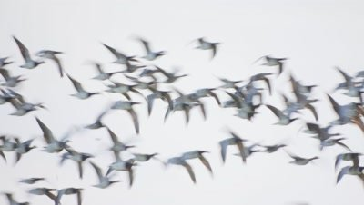 Mixed Geese in flight