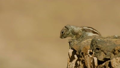 Male Barbary ground squirrel