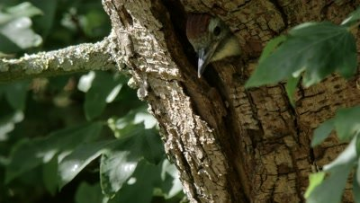 Middle spotted Woodpecker feeding young in the nest