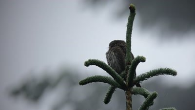 Female Pygmy Owl in a wet coniferous forest.