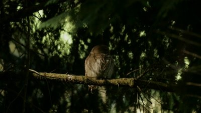 Pygmy Owl sitting in a shaft of light