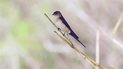 Male Red-rumped Swallow stands guard.
